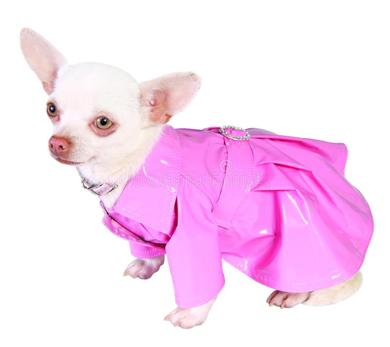 Dog in pink rain-coat royalty free stock photo