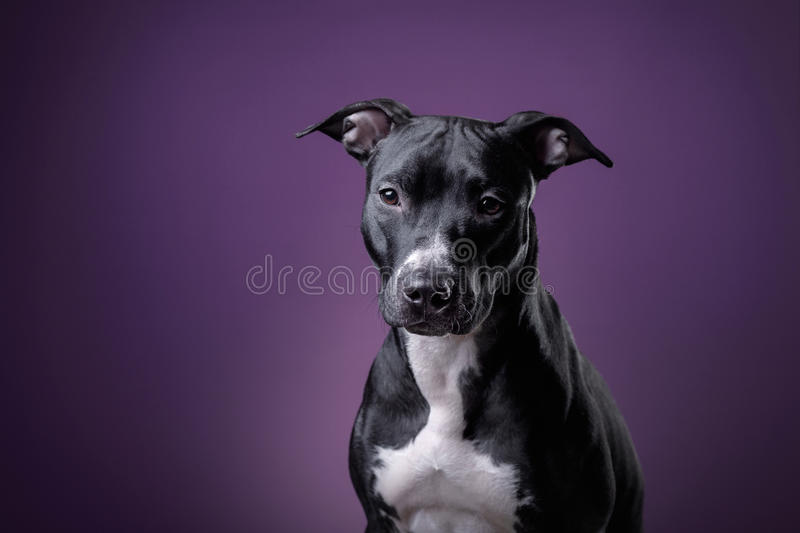 The dog is a pit bull Terrier posing in Studio stock images