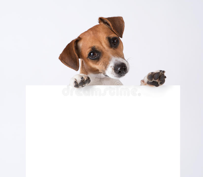 Dog with placard. Jack Russel terrier above white banner stock image