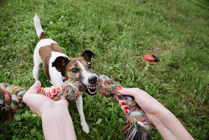 Dog play with rope. In green grass. top view stock photos