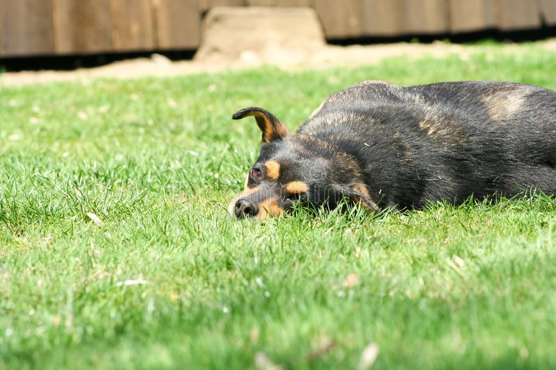 Dog played enough to sleep. On grass royalty free stock image