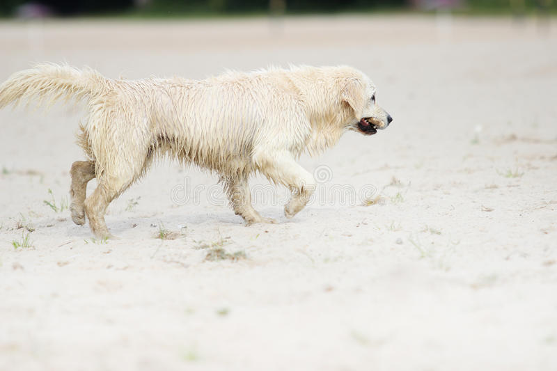 Dog is played. With a stick stock image
