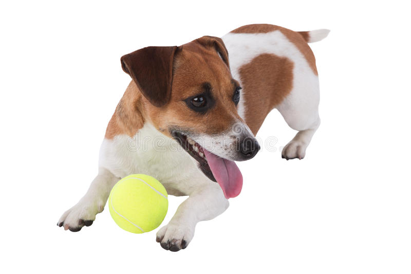 Dog is playing. Jack Russell terrier puppy playing with a tennis ball isolated on white background stock images