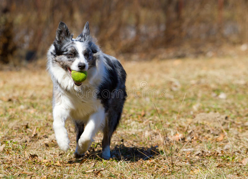 Download Dog playing with ball stock image. Image of animal, collie - 25189835