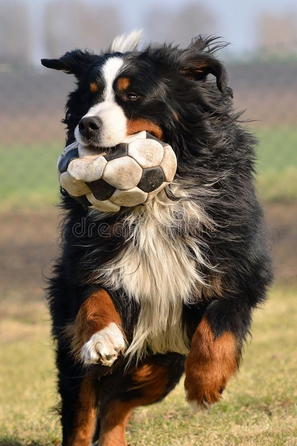 Dog playing with ball royalty free stock images