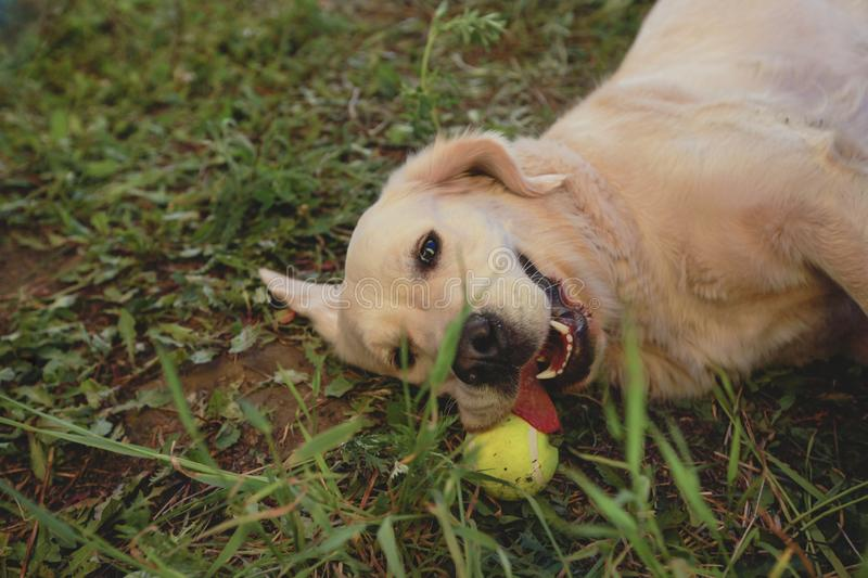 Dog playing with a ball on the grass stock photo