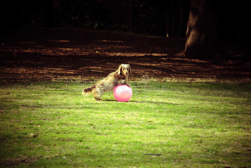 Dog playing the ball at the park stock photography