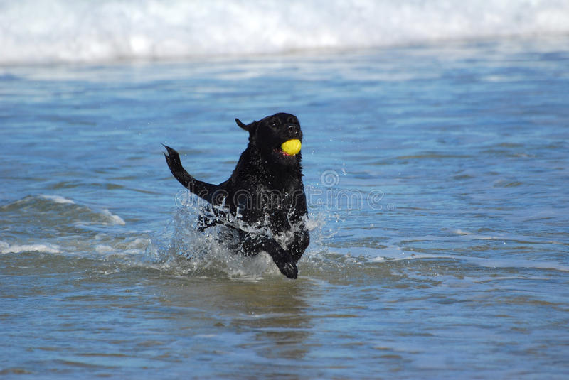 Dog Playing With Ball In Water Stock Images