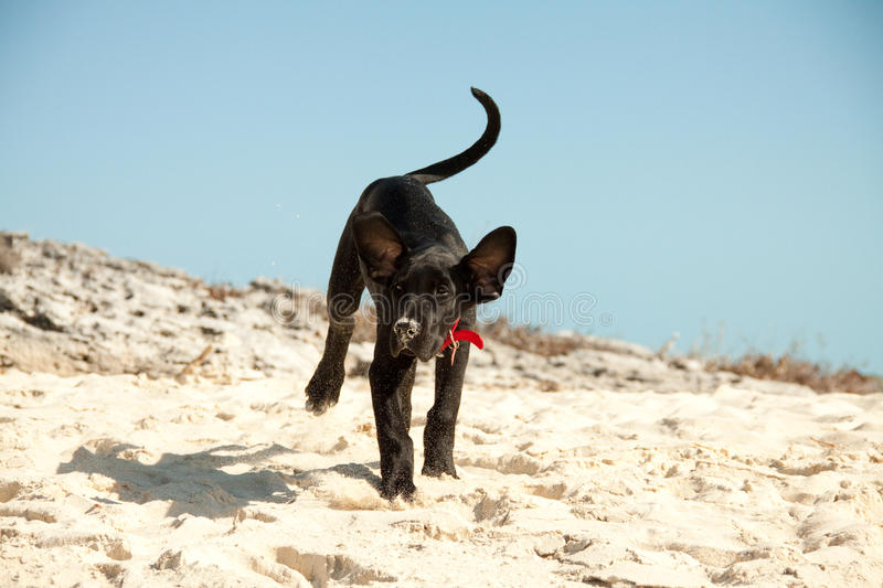 Dog playing at the beach. Great Dane supply playing in the sand royalty free stock photo