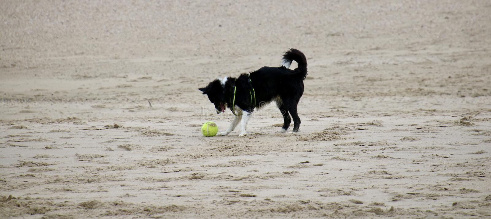 A dog is playing on the beach stock photo