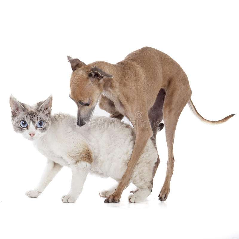 Dog playing with a cat. On a white background in studio stock image