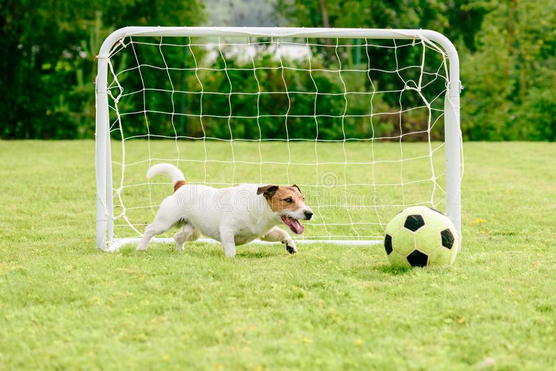 Dog playing with football soccer ball next to mini goal. Summer fun at backyard with football goal and ball stock photography