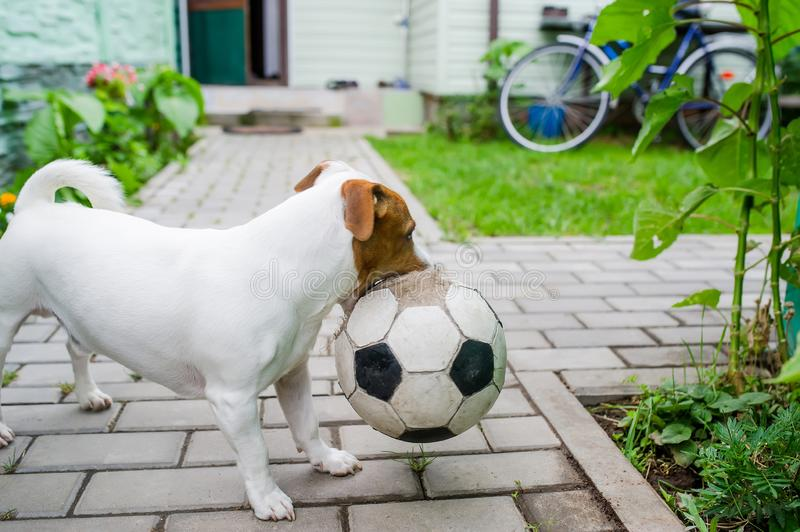 Dog playing football with soccerball in the village. Dog playing football with soccerball in the backyard in the village royalty free stock photo