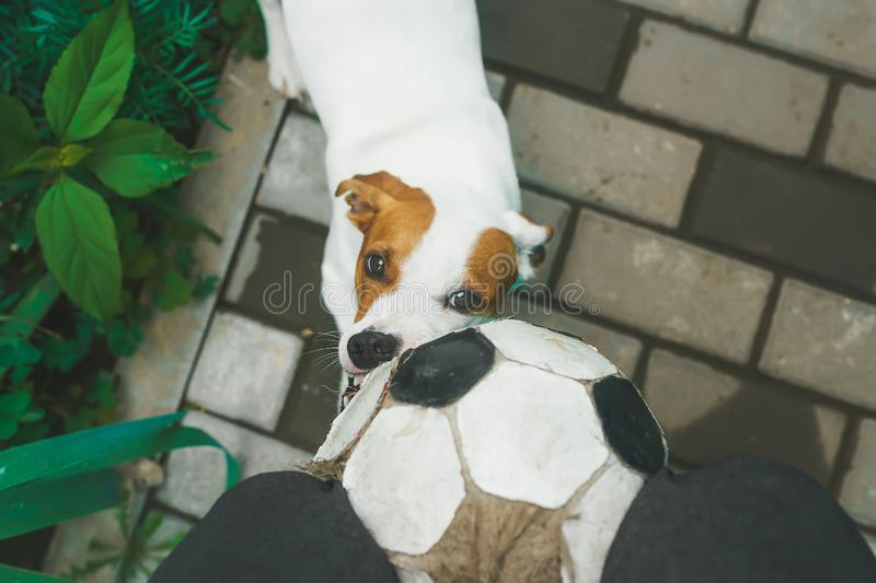 Dog playing football with soccerball in the village. Top view. Dog playing football with soccerball in the backyard in the village. Top view royalty free stock photos