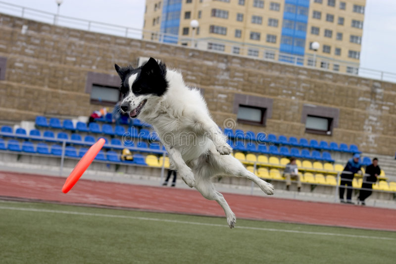 Dog playing with frisbee stock image