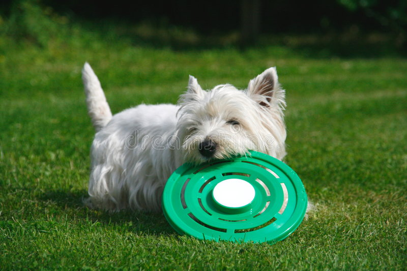 Dog playing with frisbee royalty free stock images