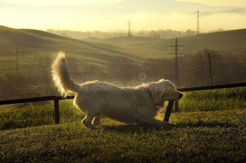 Dog playing in the hills of Tuscany. Dog playing with a stick in the hills of Tuscany royalty free stock photo