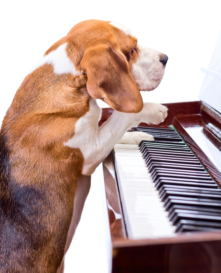 Download Dog playing the piano. stock photo. Image of active, beagle - 23042992