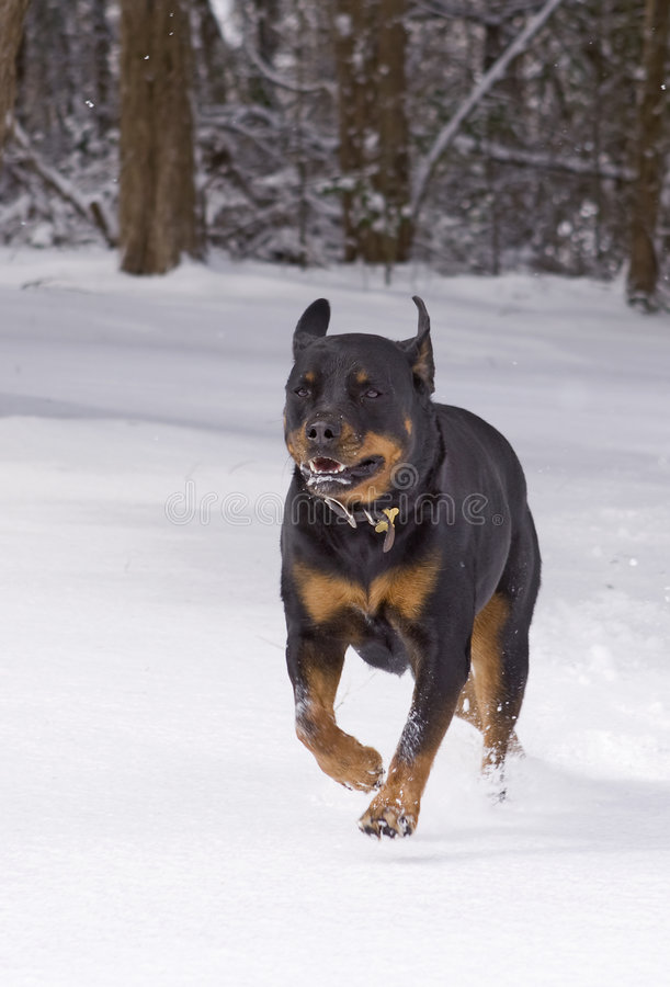 Download Dog playing in snow stock photo. Image of happy, outdoor - 8861904