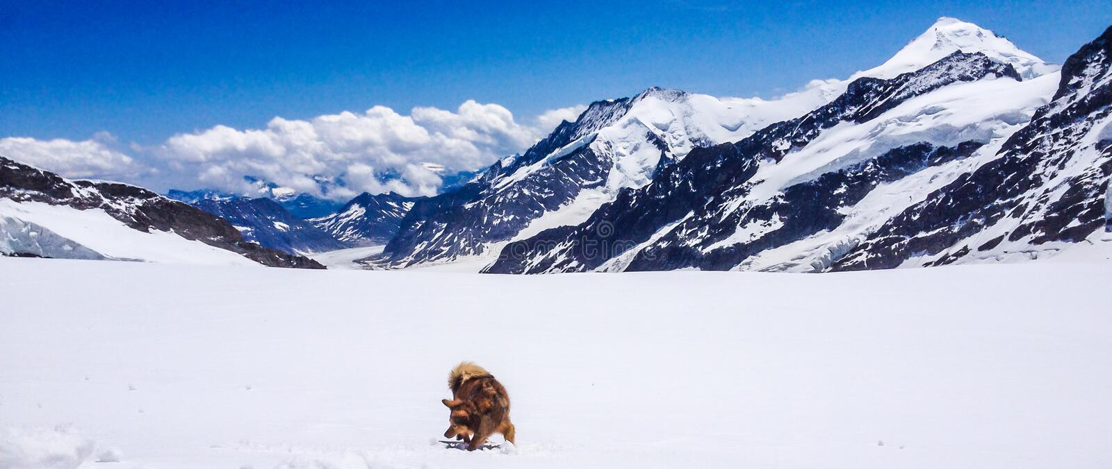 A dog playing with snow in front of Aletsch Glacier, Jungfrau Region, Bernese Oberland, Switzerland stock photo