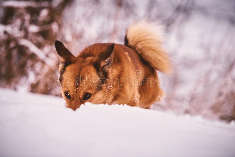 dog playing in the snow stock photo