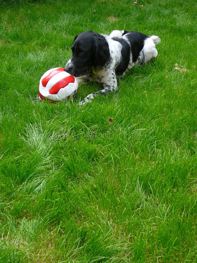 Dog Playing With Soccer Ball stock images