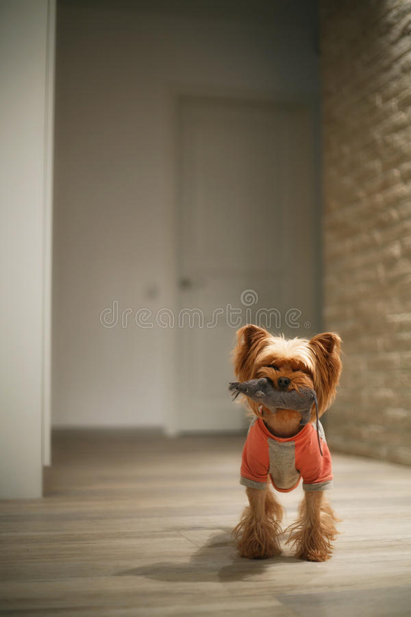 Dog playing with a toy stock photos