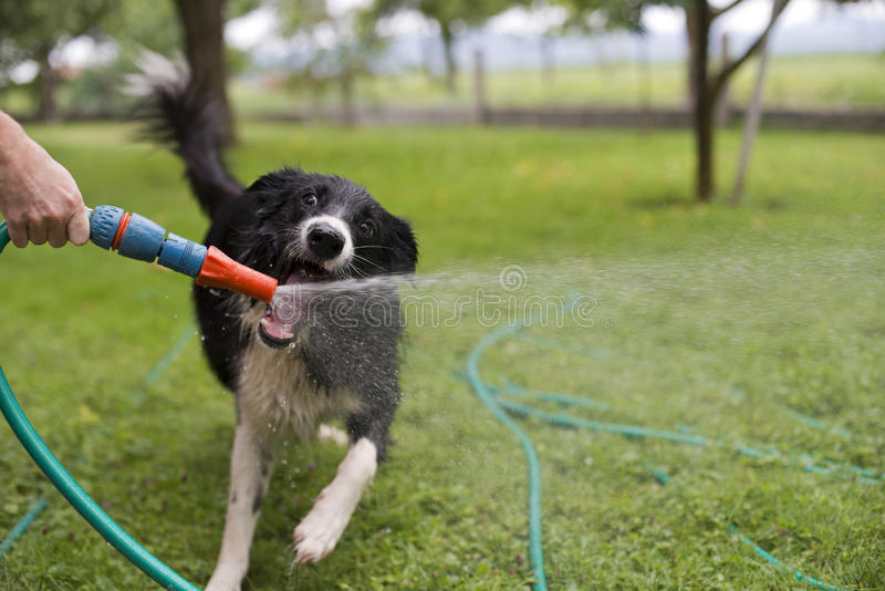 Download Dog playing stock image. Image of pipe, shower, animal - 68694703