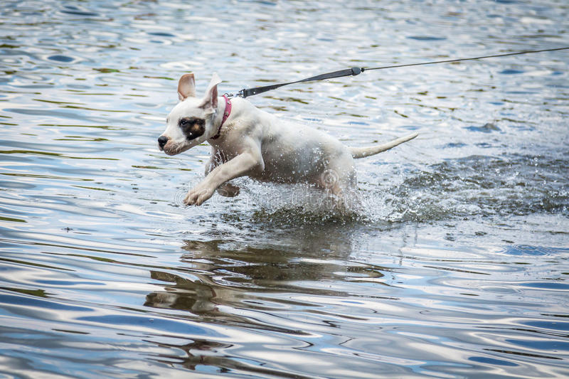 Dog playing in the water. Lake in Poland. Dogo argentino stock photography