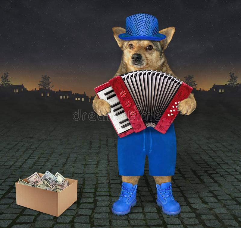 Dog plays the accordion on the street. The dog in blue hat, shorts and boots is playing the accordion on the street at night. The box of earned money in next to royalty free illustration