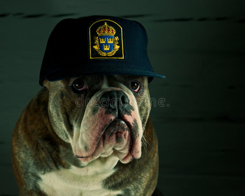 Dog in a police hat. Olde English Bulldog in a Swedish police hat stock photo
