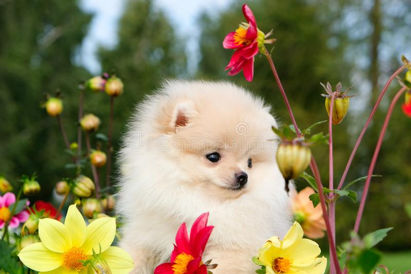 Dog pomeranian spitz sitting on blossom flowers. Close-up portrait of smart white puppy pomeranian dog. Cute furry domestic animal stock images