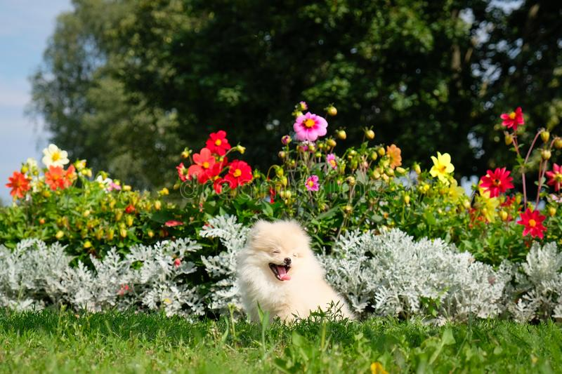 Dog pomeranian spitz sitting on blossom flowers. Portrait of smart white puppy pomeranian dog. Cute furry domestic animal sitting. Between flowers stock image