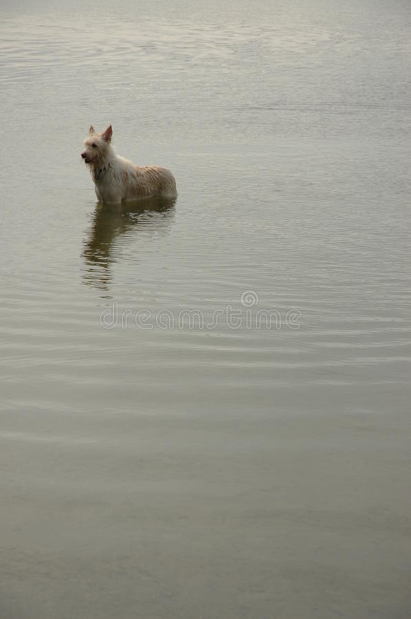 Dog In A Pond Stock Photos