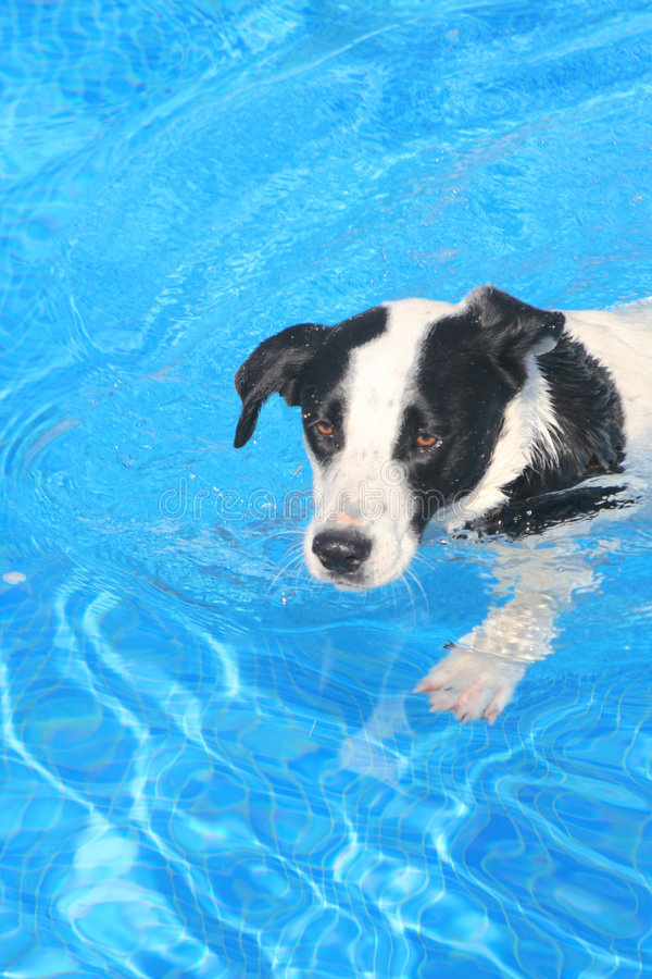 Dog in Pool. Black and white dog swimming in the pool. Bright sunny colors. his name is Casper royalty free stock photos