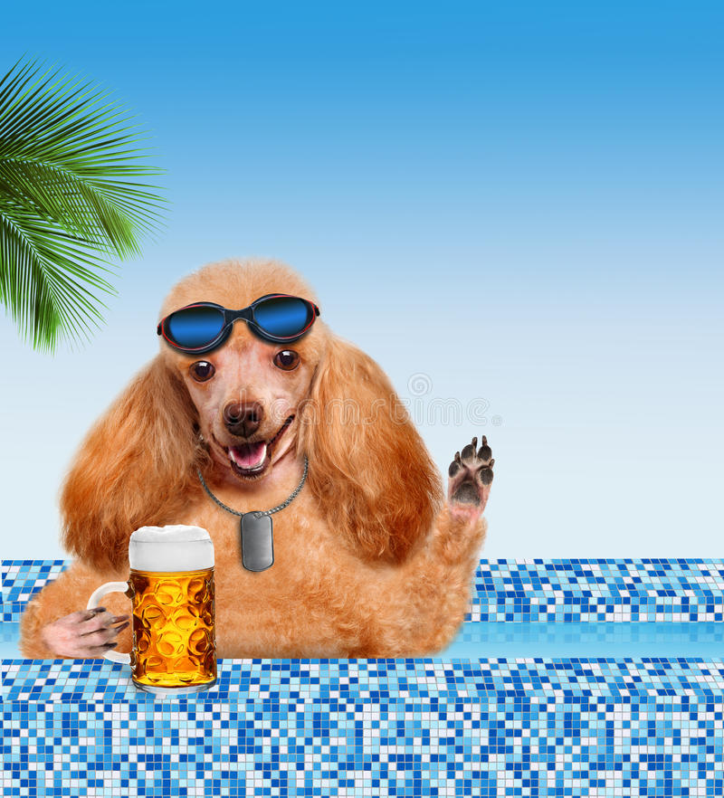 Dog in the pool. Drinking beer royalty free stock image