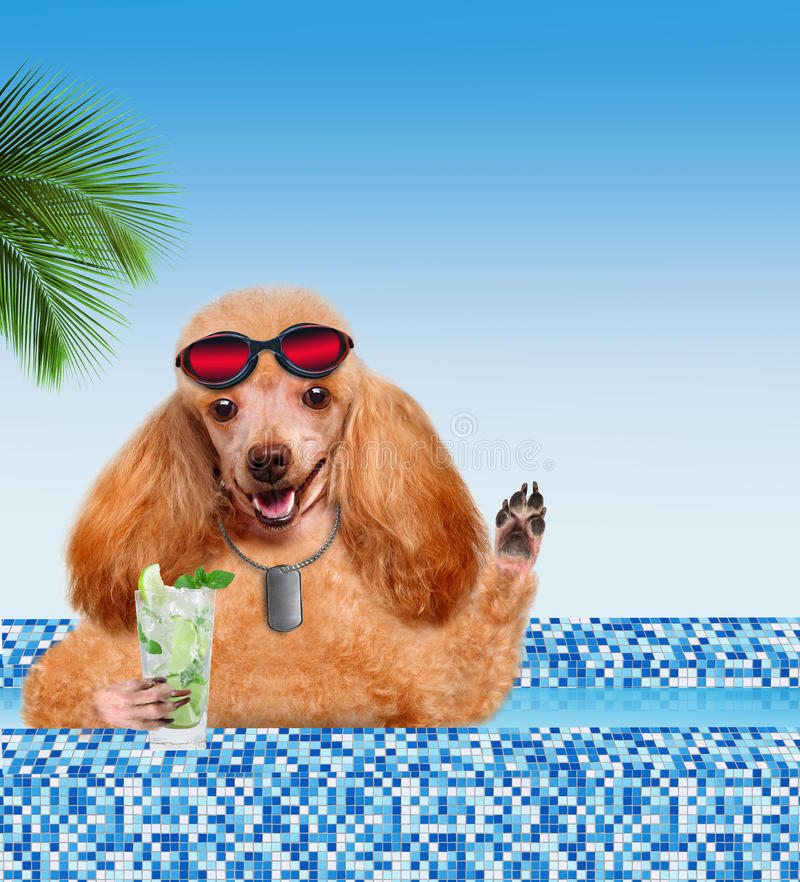 Dog in the pool. Dog drinking a cocktail in the pool stock photos