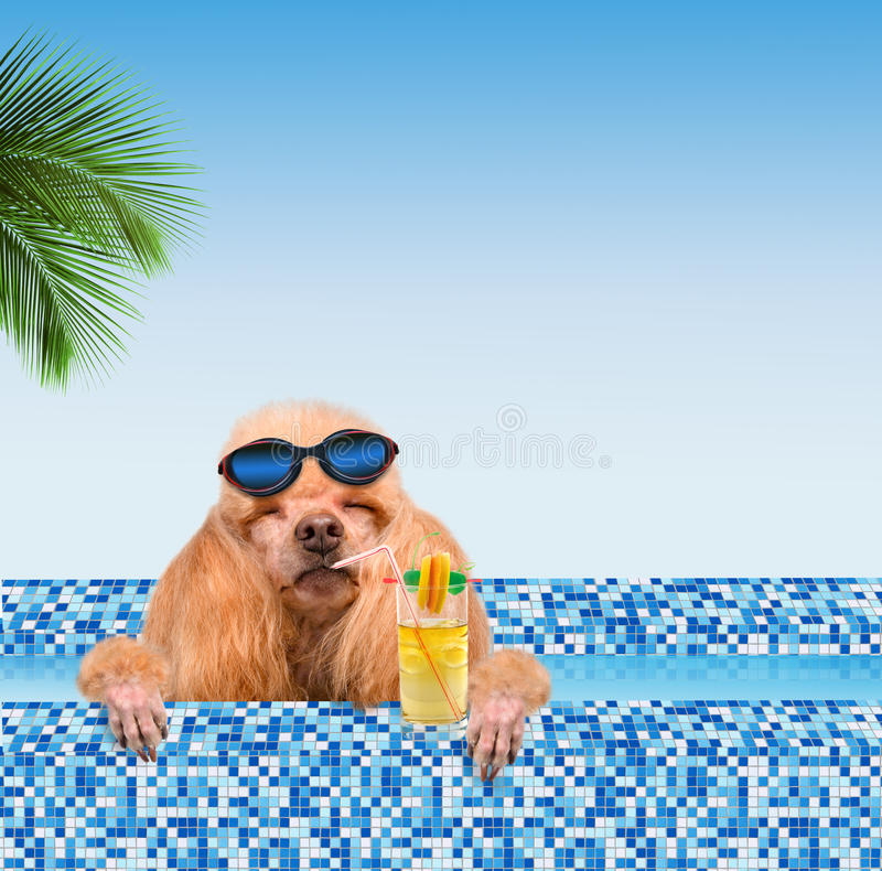 Dog in the pool. Dog pool drinking a cocktail stock photography