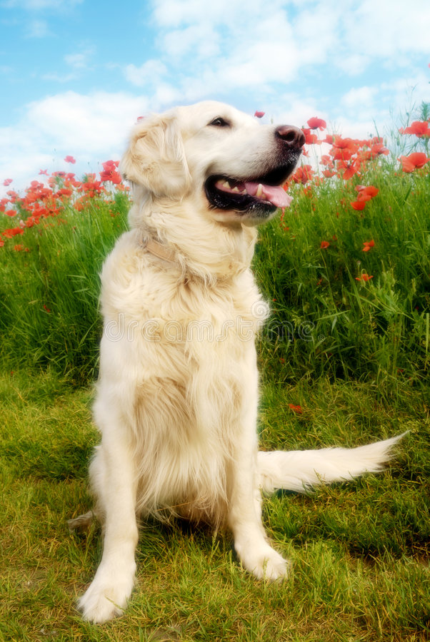 Dog with poppies. Golden retriever dog sitting in a meadow with red poppies