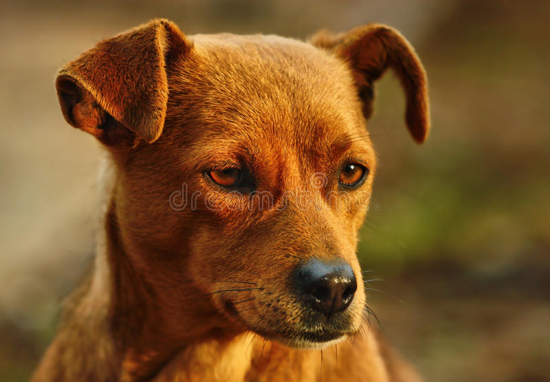 Download Dog Portrait Royalty Free Stock Photos - Image: 13973768