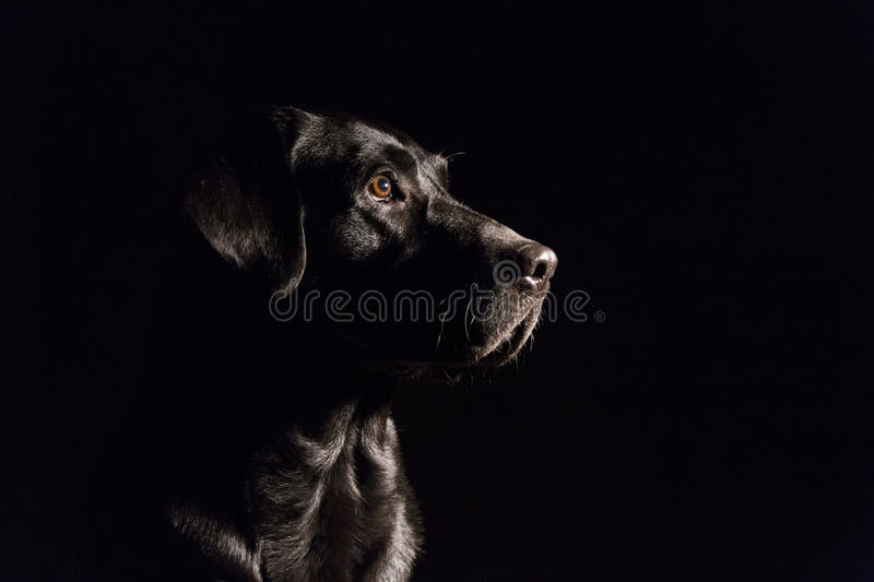 Dog portrait on black background. Beautiful black labrador with. A tie. Indoors photography royalty free stock images