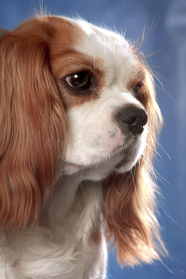Dog portrait on blue stock images