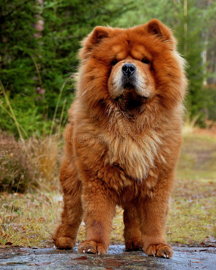 Dog portrait Chow Chow 2 royalty free stock image