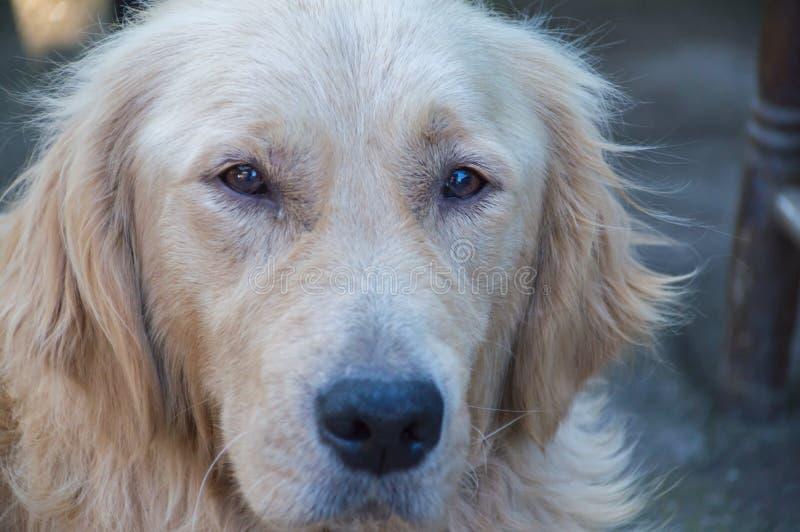 Golden retriever watching stock photo