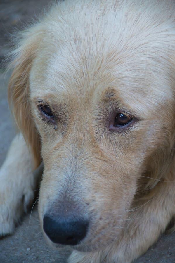 Golden retriever close up stock photos