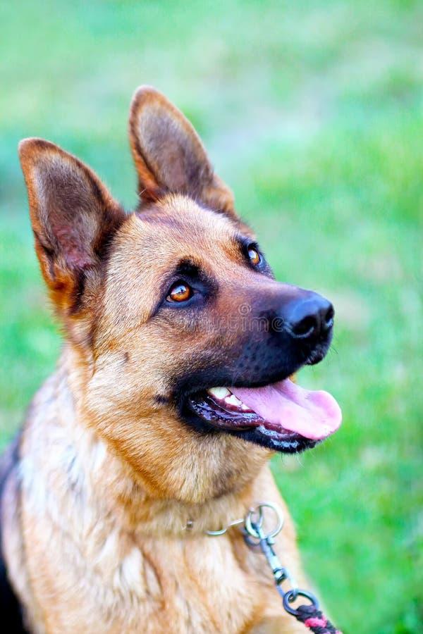 Dog portrait in grass. The breed is german shepherd stock photo