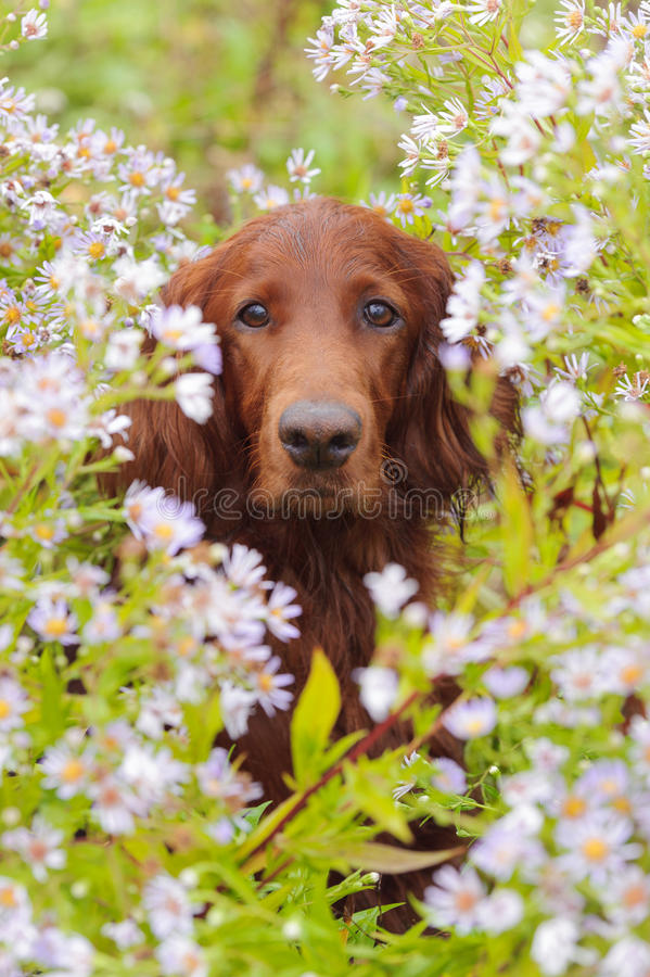 Dog portrait, irish setter in flowers, outdoors, vertical royalty free stock photo