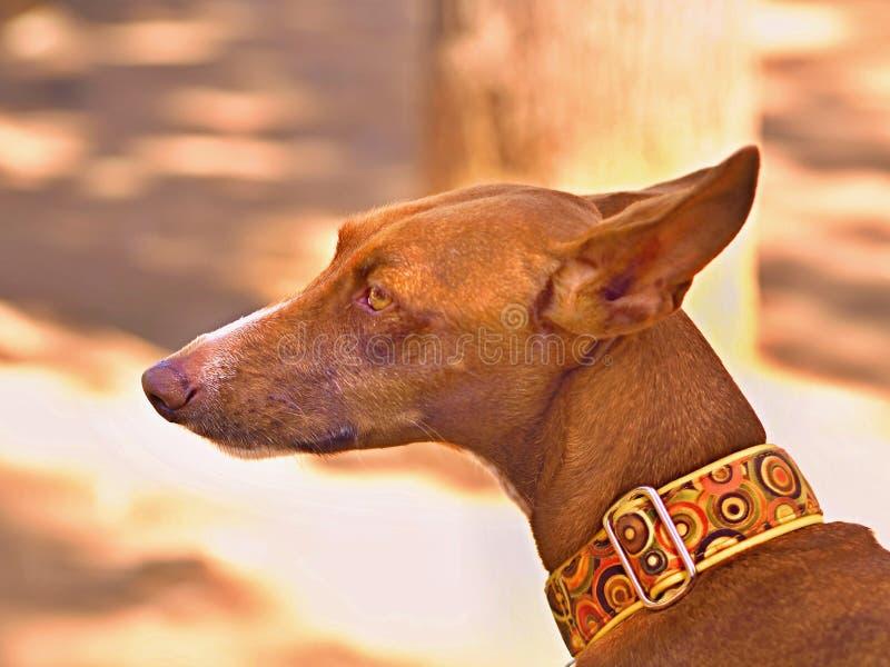 Dog portrait of a Podenco Canario head royalty free stock photo