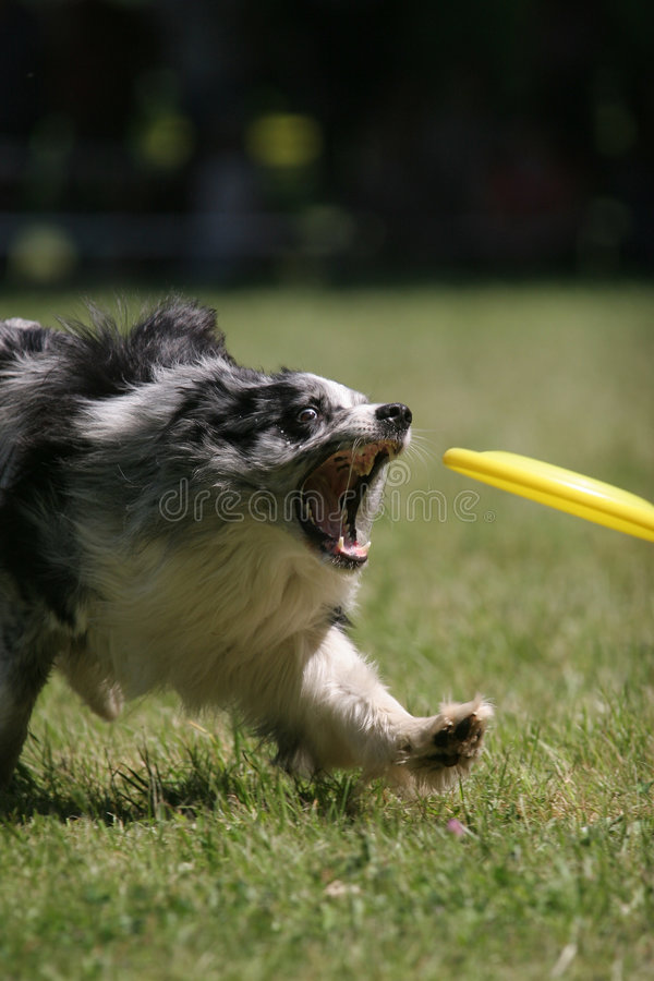 Dog prepare to catch frisbee disc. Dog prepares to catch frisbee disc stock photography