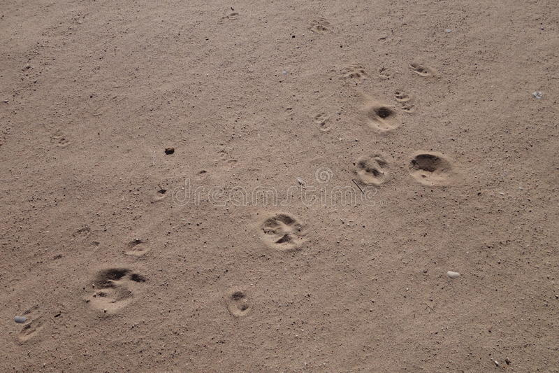 Download Dog prints in the sand stock image. Image of dogs, background - 36691263